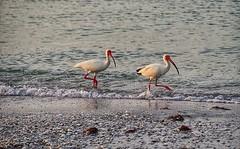 #birdsofinstagram #sanibelisland #sanibel #sanibelflorida #florida_greatshots #sunrisesofinstagram #olympusinspired #olympuspenf #mzuiko40150mm #landscapephotography #photooftheday #wanderlust #nature #birds #sealife (Sivyaleah (Elora)) Tags: sanibel island june 2019 florida bird ocean shoreline olympus penf pen f ibis