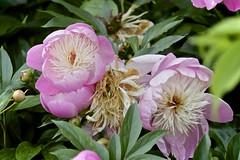 """""""Paeonia"""". Splendeur et misère d'une pivoine. Glory and distress of a peony. (unpalimpseste) Tags: flowersarefabulous pivoine vie mort fleur bokeh groupe trois"""