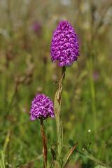 Faversham's Pyramidal Orchids - Anacamptis pyramidalis (favmark1) Tags: kent faversham kentorchids wildorchids britishorchids pyramidalorchids anacamptispyramidal