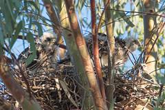 Nestlings grow so fast (Kukui Photography) Tags: nestlings coopers hawk arizona raptor backyard tucson coopershawk