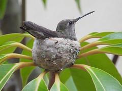 9290ex Black-chinned hummingbird on nest (jjjj56cp) Tags: bird birds closeup nest details beak feathers aves ave nesting lifer blackchinnedhummingbird small tiny p1000 jennypansing coolpixp1000 nikoncoolpixp1000 hummingbird california ca carlsbad inthewild wildlife