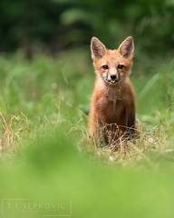 Red Fox Kit (T L Sepkovic) Tags: redfox fox foxkit babyanimals vulpesvulpes mammals foxes pawildlife canonusa lenscoat wildlifephotography cute cutestanimals ngc