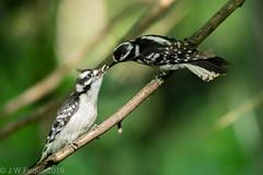 Downy Woodpeckers (jwfuqua-photography) Tags: downywoodpecker nature birds pennsylvania woodpecker peacevalleynaturecenter jerrywfuqua buckscountyparks buckscounty jwfuquaphotography