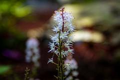 Flower Spike (Steven Strasser) Tags: spring flower blossom garden blooms macro bokeh