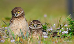 Look bored – maybe he'll go away……… (craig goettsch) Tags: burrowingowls capecoral owls owlet chick juvenile nature wildlife animals nikon d500