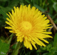 dandy lion.jpg (HillBum) Tags: seasons flora hedgerow spring flowersplants