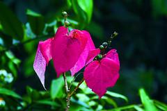 L1340739 Alchornea kelungensis (Rise Liao) Tags: 葉子 樹木 leaves