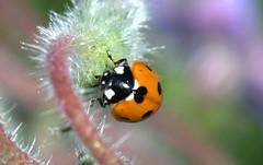 Ladybug - Coccinella (Coccinella septempunctata) (by emmeci) Tags: coccinellaseptempunctata ladybug ladybird coccinella giugno monza parcodimonza cascinafrutteto