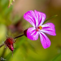 Crane's-bill (HillBum) Tags: hedgerow flora flowersplants cranesbill cranes bill geranium