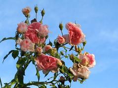 Gebenedeit sei Gott der Herr (amras_de) Tags: rose rosen ruža rosa ruže rozo roos arrosa ruusut rós rózsa rože rozes rozen roser róza trandafir vrtnica rossläktet gül blüte blume flor cvijet kvet blomst flower floro õis lore kukka fleur bláth virág blóm fiore flos žiedas zieds bloem blome kwiat floare ciuri flouer cvet blomma çiçek