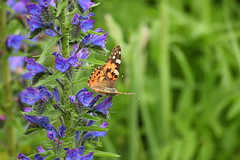 2019-06-073 (maud_scientist) Tags: butterfly painted lady vanessa cardui british scottish wildlife nature animal vipers bugloss