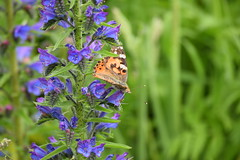 2019-06-072 (maud_scientist) Tags: butterfly painted lady vanessa cardui british scottish wildlife nature animal vipers bugloss