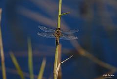 RK1D7166 (Risto Kuisma) Tags: canon eos canon1dx outdoor nature water korsi korento finlande finland suomi kesä summer wings insect blue colour photography photo