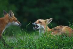 Back off! (Rob E Twoo) Tags: redfox fauna explore lake ontario canada nature naturaleza wildlife