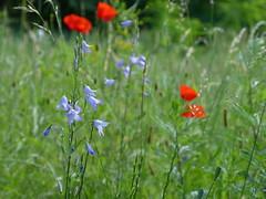 Lovely flowers (joeke pieters) Tags: 1480097 panasonicdmcfz150 tegelen limburg nederland netherlands holland jammerdaalsetocht bloem bloemen wildflower klaproos poppy campanula