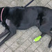 Schwarzer Labrador-Hund liegt nach dem Tierarztbesuch mit Blessuren und Verband erschöpft auf dem Boden