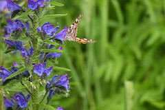 2019-06-074 (maud_scientist) Tags: butterfly painted lady vanessa cardui british scottish wildlife nature animal vipers bugloss
