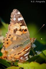 Schmetterling / Butterfly (R.O. - Fotografie) Tags: schmetterling butterfly distelfalter nieheim garten garden rofotografie nahaufnahme closeup close up panasonic lumix dmcgx8 dmc gx8 gx 8 leica 100400mm outdoor outside natur nature animal tier falter