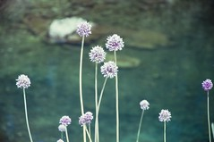 croatian bokeh (Enhanced Reality) Tags: bokeh depthoffield flowers nature croatia 2013 summer