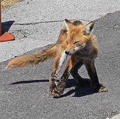URBAN FOX, ACA PHOTO (alexanderrmarkovic) Tags: urbanfox fox cub