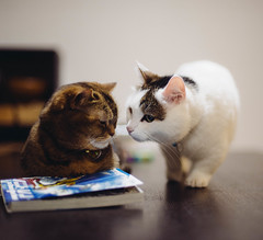 2019.6.25 : 39/365 (Nazra Z.) Tags: munchkin cat home indoors night pet okayama japan 2019 raw vscofilm 365 ayearofjoys