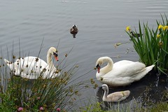 Family (oddbodd13) Tags: swan muteswan bird waterfowl cygnet