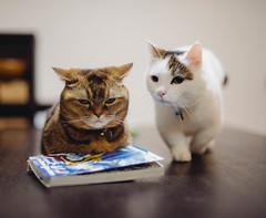 2019.6.25 (Nazra Z.) Tags: munchkin cat home indoors night pet okayama japan 2019 raw vscofilm