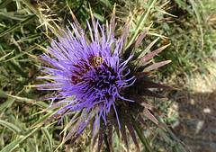 Thistle Flower in Kalamaki, Zakynthos, Greece (j.a.sanderson) Tags: thistleflowerinkalamaki zakynthos greece thistle flower kalamaki flowers plant flora