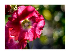 another kind of roses (BeMo52) Tags: alcearosea backlit bauernrose blüte bokeh commonhollyhock flora flower gegenlicht macro makro malvengewächse natur nature stockrose pentacon50mmf18