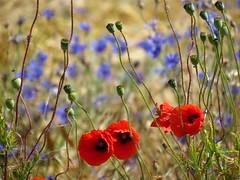 IMG_4255 (germancute) Tags: nature outdoor wildflower summer sommer landschaft landscape thuringia t thüringen germany germancute deutschland feld field blume flower