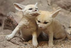 fennec Artis 094A0203 (j.a.kok) Tags: animal africa afrika mammal zoogdier dier fox fennek fennec fennecfoxfennecuszerdavulpeszerdavulpes woestijnvos vos artis baby babyfox babyvos