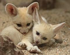 fennec Artis 094A0539 (j.a.kok) Tags: animal africa afrika mammal zoogdier dier fox fennek fennec fennecfoxfennecuszerdavulpeszerdavulpes woestijnvos vos artis baby babyfox babyvos