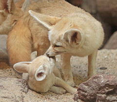 fennec Artis 094A0020 (j.a.kok) Tags: animal africa afrika mammal zoogdier dier fox fennek fennec fennecfoxfennecuszerdavulpeszerdavulpes woestijnvos vos artis baby babyfox babyvos