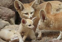 fennec Artis 094A0289 (j.a.kok) Tags: animal africa afrika mammal zoogdier dier fox fennek fennec fennecfoxfennecuszerdavulpeszerdavulpes woestijnvos vos artis baby babyfox babyvos