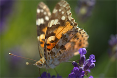 distelvlinder..........painted lady (atsjebosma) Tags: ditelvlinder paintedlady garden tuin summer zomer june juni butterfly vlinder macro light atsjebosma groningen thenetherlands