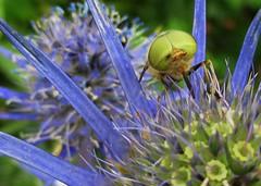 Horsefly (Tabanus sp) feeding on Eryngium (johnlauper) Tags: horsefly tabanus insect fly nature wildlife pevenseybay closeup macro