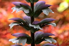 Architetture (lincerosso) Tags: fiore flower acanto acanthusmollis archietturafloreale forme colori bellezza armonia