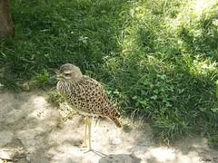 Alcaraván de El Cabo (Marisa Tárraga DV) Tags: españa spain valencia bioparc zoo animal ave pajaro bird alcaravandeelcabo naturaleza nature ngc