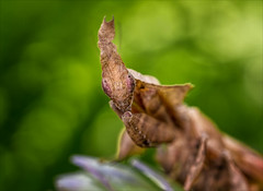 Baby Groot (Kathy Macpherson Baca) Tags: insects macro mantid mantis ghost world nature wildlife earth asia planet predator camouflage