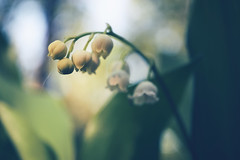 Lily of the Valley (Jos Mecklenfeld) Tags: sonya6000 sonyilce6000 sonye30mmf35macro sel30m35 meebos westerwolde niederlande nederland nature natur natuur forest waldbos wald bos spring frühling lente flowers blumen bloemen lelietjevandalen meiklokje maiglöckchen lilyofthevalley convallariamajalis terapel groningen netherlands