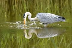 Heron fishing (karen leah) Tags: fishing heron bird nature outdoors wildlife spring june teifimarshes cilgerran