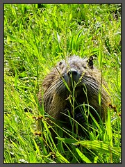 Bisamratte / Bisam ... Wildlife. ... (tingel79) Tags: bisamratte nagetier wildlife outdoor spree spreewald animal tiere natur nature germany world day sonya6500 sony photographie photography muskrat