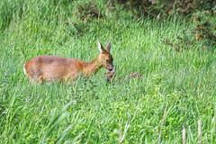 ~ Doe & Kid ~ (Margaret S.S) Tags: doe kid fawn roe deer family