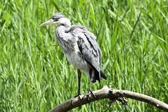 Juvenile heron (karen leah) Tags: juvenile heron bird nature outdoors wildlife spring june teifimarshes cilgerran