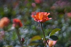 R1902908 (ivoräber) Tags: trioplan sony meyer giardina garden garten görlitz rose switzerland schweiz systemkamera swiss flower flowers schloss heidegg rosengarten