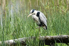 Heron on the move.. (karen leah) Tags: heron bird nature outdoors wildlife spring june teifimarshes cilgerran