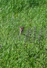 ~ Little Roe Kid ~ (Margaret S.S) Tags: roe deer kid fawn