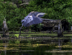Great Blue Heron (crabsandbeer (Kevin Moore)) Tags: birds gbh heron northpointstatepark greatblueheron nature naps swamp marsh wildlife maryland baltimorecounty feathers fly flight