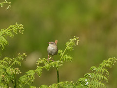 Wren (Pendlelives) Tags: wycollar wycoller wildlife countryside nature bird birds ornithology lancashire pendle pendlelives tree wood perched clear background colours vibrance nikon p1000 perch wren insect food ferns green post wooden