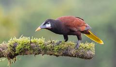 Montezuma Oropendola (male) (Tris Enticknap) Tags: montezumaoropendola oropendola psarocoliusmontezuma lagunadellagarto bocatapada costarica alajuela